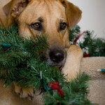 Tip Top Dog Schools Christmas tree safety tips