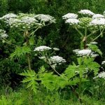 Giant Hogweed – Can It Hurt Your Dog?