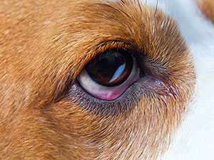 Dog-Care-Eye-Injuries
