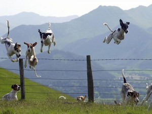 Pack-of-Hunting-Dogs-Jumping-Over-a-Barbed-Wire-Fence