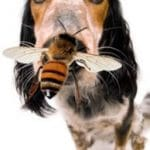 What to do when a wasp or bee stings your dog