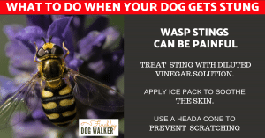 wasps-and-dogs-by-derek-300x157 What to do when a wasp or bee stings your dog